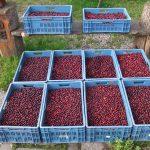 cranberrys-de-kolke